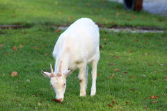 Dutch white goat Stock Image