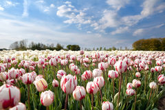 Dutch white and red tulips in sunshine Stock Photos