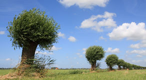 Dutch willows. Row of pollarded willows in summer Stock Images
