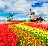 Dutch wind mills. Two traditional Dutch windmills of Zaanse Schans and rows of fresh tulips, Netherlands royalty free stock photography