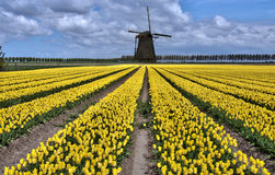 Dutch Windmill And Tulip Fields Royalty Free Stock Photo