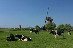 Dutch windmill and cow Stock Photo