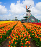 Dutch windmill over  tulips field Stock Photo
