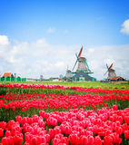 Dutch windmill over  tulips field Royalty Free Stock Photos