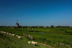 Dutch windmill and sheep Stock Photography