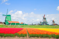 Dutch windmills over  flower fields Stock Image