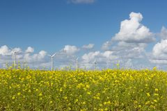 Dutch windturbines behind a yellow coleseed field. Dutch windturbines behind a big yellow coleseed field royalty free stock photos