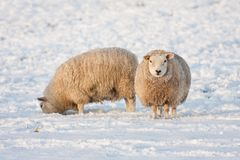 Dutch winter andscape with sheep in snow covered meadow. Dutch winter landscape with sheep in snow covered meadow searching for grass Royalty Free Stock Photos