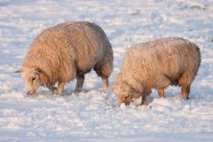 Dutch winter andscape with sheep in snow covered meadow. Dutch winter landscape with sheep in snow covered meadow searching for grass Royalty Free Stock Image