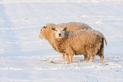Dutch winter andscape with sheep in snow covered meadow. Dutch winter landscape with sheep in snow covered meadow searching for grass Stock Photo