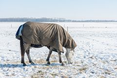Dutch winter with snowy field and horse covered with blanket Stock Images