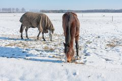 Dutch winter with snowy field and horses covered with blanket Royalty Free Stock Photography
