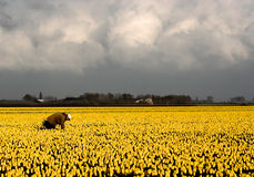 Dutch yellow. Dutch tulip fields with yellow tulips and farmer Stock Photo