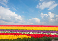 Dutch yellow tulip fields in sunny day Stock Image