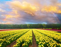Dutch yellow and violet tulip fields in sunny day. Famouse dutch yellow and violet tulip field with rows in sunny day with raibow in the sky stock images