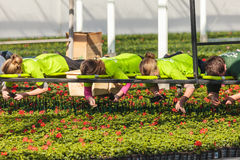 Dutch youngsters working in a greenhouse filled with young geraniums royalty free stock images
