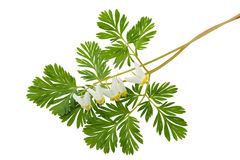 Dutchman's Breeches Dicentra cucullaria Royalty Free Stock Photo