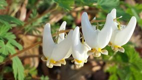 Dutchmans Breeches (Dicentra cucullaria) Wildflower in Spring. Tiny, rare, native Pennsylvania flower (aka Dutchmans pipe) comes through dead leaves in April Royalty Free Stock Image