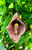 Dutchman's pipe, Aristolochia gigantea Stock Photo