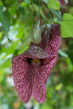Dutchmans pipe flower Royalty Free Stock Photos