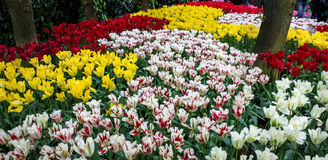 Dutchy flowerpower. Different tulips outside in the Netherlands. Different colours Stock Photos