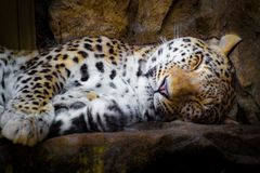 Dutjetijd voor tijger na lange dag stock foto's