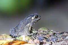 Duttaphrynus melanostictus Stock Photo