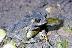 Duttaphrynus melanostictus Stock Image