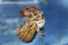Closeup of toad mating in pond,Mating season,Amphibian royalty free stock photography
