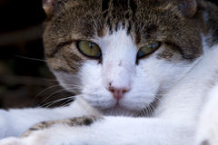 Duttende kat Stock Afbeelding