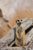 On Duty. Meerkat standing on hind legs, guarding his family Stock Photo