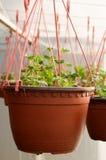 Dutzende des braunen Plastikblumentopfs mit Blumen, die, in den Reihen in einem sonnigen Gewächshaus schon zu blühen haben Stockbild