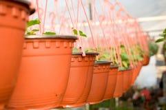 Dutzende des braunen Plastikblumentopfs mit Blumen, die, in den Reihen in einem sonnigen Gewächshaus schon zu blühen haben Lizenzfreies Stockbild
