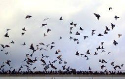 Dutzende, die Tauben fliegen Stockfotografie
