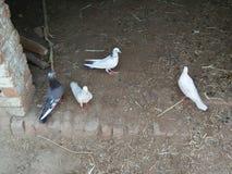 DUVA & x28; BIRD& x29; , FAMILJ; COLUMBIDAE royaltyfri bild