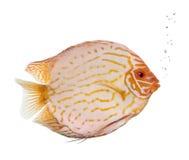 duva för bloddiskusfisk Arkivfoton