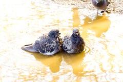 Duva för två vänner in i gult vatten Arkivbild