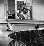Duva framme av en springbrunn royaltyfri bild