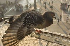 Duva i den San Marco fyrkanten Royaltyfri Foto