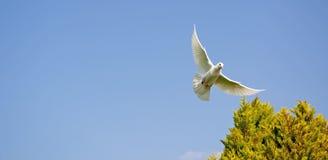 Duva i flyg Fotografering för Bildbyråer
