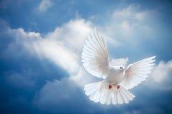 Duva i luften med den öppna vingsneda bollen Fotografering för Bildbyråer