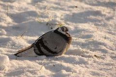 Duva i snön Arkivbild
