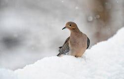 Duva i snow Royaltyfria Foton