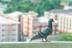 Duva på balkong över stadsbakgrund Fotografering för Bildbyråer