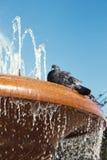 Duva på en springbrunn Royaltyfria Foton