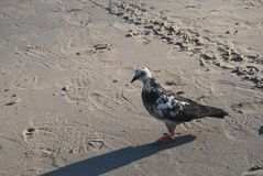 Duva på stranden och den skugga arkivbild