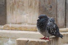 Duva som rufsar dess fjädrar Royaltyfri Foto