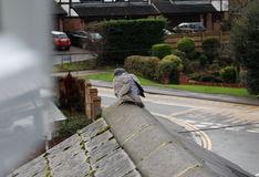 Duva som sitts på taket i surburbiaa Royaltyfri Foto