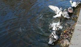 Duvabad i sjön Royaltyfri Foto