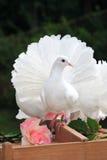 duvabröllopwhite Royaltyfria Bilder